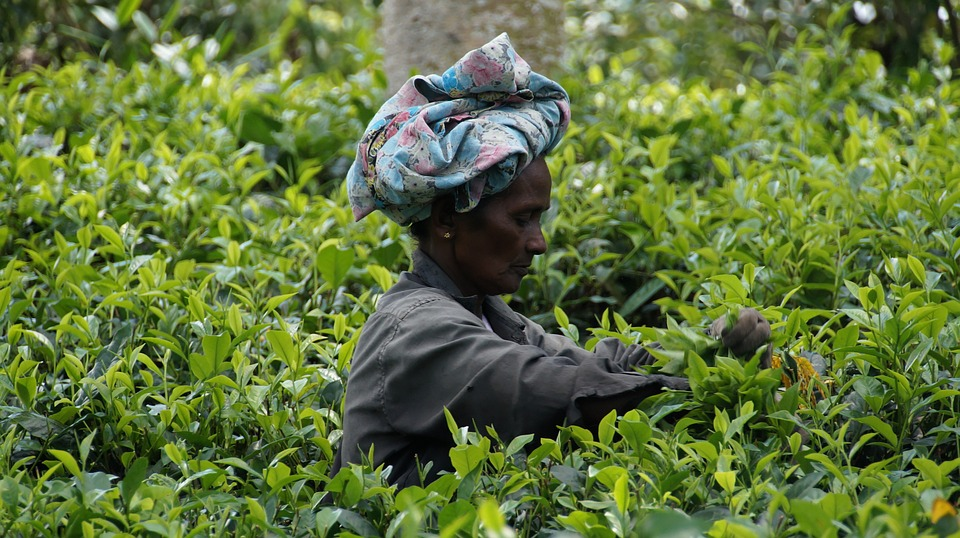 Plantation de thé au Sri Lanka